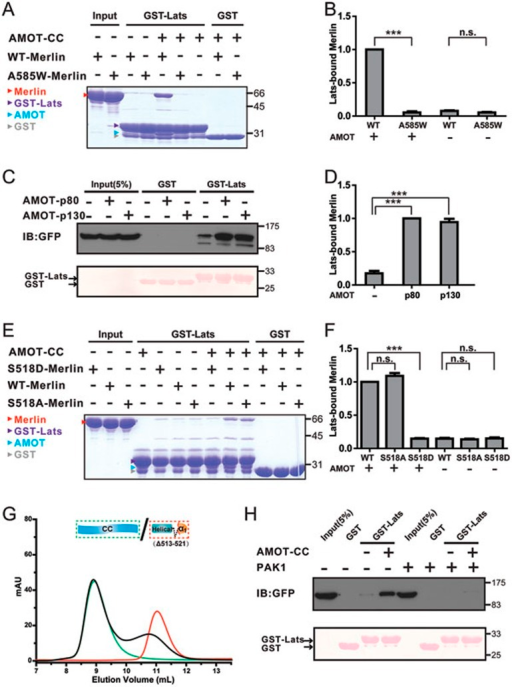AMOT potentiates WT but not the Ser518-phosphorylated Merlin to bind to Lats1. (A) Binding of the semi-open WT-Merlin, but not the closed A585W-Merlin, to Lats1-FBD can be significantly enhanced in the presence of AMOT-CC. (B) Lats1 binding to WT-Merlin and A585W-Merlin in the presence or absence of AMOT-CC was quantified. Values are mean ± SD from three independent experiments (as with the rest of the binding experiments shown in this figure and Figure 7). ***P < 0.001, and n.s. stands for non-significant. (C) Addition of the full-length AMOT (AMOT-p80 or AMOT-p130) potentiates Merlin's binding to Lats1. (D) Quantification of the binding experiments shown in C. (E) Phosphorylation-mimic S518D-Merlin shows only a background level of binding to Lats1 both in the presence and absence of AMOT-CC. In contrast, S518A-Merlin displays an AMOT-CC-dependent binding to Lats1 as WT-Merlin does. (F) Quantification of the binding experiments shown in E. (G) Analytical gel filtration-based assay shows that deletion of a 9-residue fragment surrounding Ser518 (Δ513-521) of Merlin-AmBD essentially disrupts its binding to AMOT-CC. (H) Phosphorylation at Ser518 of Merlin by PAK1 prevents its AMOT-CC-potentiated binding to Lats1. In this assay, we co-transfected GFP-tagged full-length Merlin and Myc-tagged constitutively active form of PAK1 (empty Myc-tagged vector as the control) into the HEK293 cells, and compared AMOT-potentiated binding between Merlin and Lats1. In the upper panel, the presence of PAK1 eliminated AMOT's capacity in potentiating Merlin/Lats1 interaction. The bottom panel shows the input of GST and GST-Lats1 by Ponceau S staining.