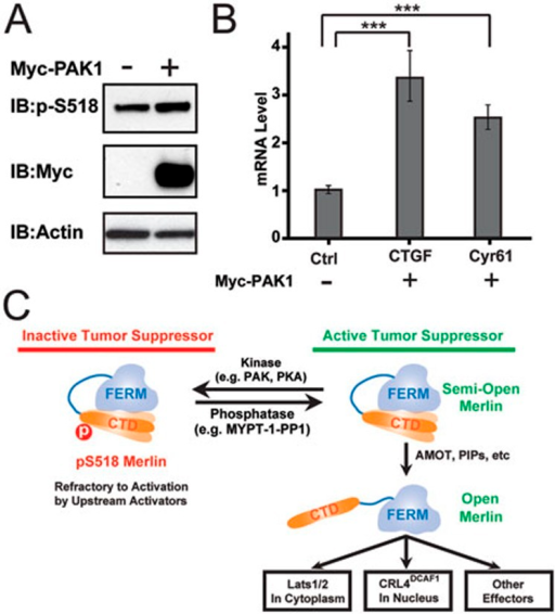 A model depicting the phosphorylation-modulated activity regulation of Merlin. (A, B) PAK1 can enhance phosphorylation of Merlin (A), and cause the inactivation of the Hippo-YAP signaling pathway as evidenced by increased expression levels of two YAP target genes CTGF and Cyr61 (B), presumably due to the weakened AMOT/phosphor-Merlin interaction. (C) A model depicting the phosphorylation-mediated activity regulation of Merlin. In this model, WT-Merlin adopts a semi-open conformation via an intra-molecular head-to-tail interaction. Upstream regulators such as AMOT can bind to Merlin-CTD, fully expose the FERM domain and thus activate Merlin. Phosphorylation of Ser518 can weaken AMOT's binding to Merlin-CTD and thus maintain Merlin in its inactive state.