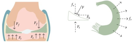 Schematic diagram of the meniscus force-bearing mechanism. Meniscal configuration adapts well to the corresponding shape of the femoral condyles and the tibial plateau in the knee joint. The axial load force (F) perpendicular to the meniscus surface and horizontal force (fr) are created by compressing the femur (Ff). F rebounds due to the tibial upgrade force (Ft), whereas the fr leads to meniscal extrusion radially, which is countered by the pulling force from the anterior and posterior insertional ligaments. Consequently, tensile hoop stress is created along the circumferential directions during axial compression.