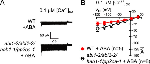 Analysis of ABA activation of S-type anion currents in PP2C quadruple mutant guard cells at low [Ca2+]cyt.(A and B) ABA application in WT and abi1-2/abi2-2/hab1-1/pp2ca-1 guard cells with [Ca2+]cyt buffered to a resting level of 0.1 μM does not result in large S-type anion current activation. Typical current traces (A), average steady-state currents in response to applied voltages (±SEM), and numbers of individual measured guard cells are shown (B). Several error bars are not visible, as these were smaller than the illustrated symbols.DOI:http://dx.doi.org/10.7554/eLife.03599.006