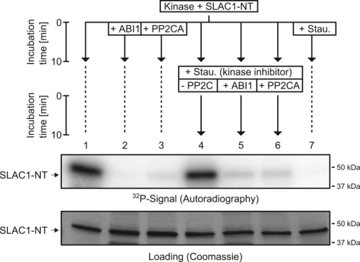 When previously phosphorylated by CPK21, the SLAC1-NT is de-phosphorylated by the PP2Cs ABI1 and PP2CA.Recombinant SLAC1-NT phosphorylation by CPK21 (lane 1) is inhibited if the protein phosphatases ABI1 and PP2CA are added before starting the reaction (lanes 2–3). The phosphorylated SLAC1-NT derived signal is rapidly and strongly decreased if the PP2Cs ABI1 and PP2CA (lanes 4–7) are added after the addition of staurosporine.DOI:http://dx.doi.org/10.7554/eLife.03599.014
