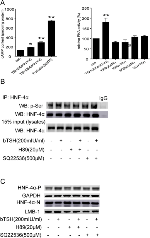The TSH-mediated phosphorylation of HNF-4α via the cAMP/PKA pathway is responsible for its reduced nuclear translocation and transcriptional activity.(A) cAMP content and PKA activity in HepG2 cells were assayed. (B) HepG2 cells treated with bTSH for 48 hours in the absence or presence of PKA inhibitor (H89) and AC inhibitor (SQ22536). Cell lysates were purified by immunoprecipitation (IP) with an anti-HNF-4α antibody and were subjected to WB with antibody against phosphorylated-Serine (p-Ser) which represents the phosphorylated levels of HNF-4α. Total lysates were analyzed by WB with anti- HNF-4α antibody as indicated. Normal mouse IgG was used as a negative control. (C) The cytoplasmic and nuclear HNF-4α protein levels in HepG2 cells treated with bTSH for 48 hours in the absence or presence of H89 and SQ22536. Representative images from 3 ~ 5 independent experiments are shown. All data are expressed as the mean±standard deviations. **P < 0.01 versus the control (con). The error bars represent the standard deviations. All panels above are representative of 3 independent experiments. All the gels were run under the same experimental conditions, and key data cropped blots are used here. The full-length gel images are available in the Supplementary Figures.