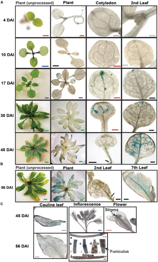 Spatial and temporal expression of SAQR. Beta-glucuronidase activity was visualized in transgenic Arabidopsis lines containing SAQR promoter::GUS. (A)SAQR expression in cotyledon, and first true leaf at 4, 10, 17, 30, and 45 DAI. (B)SAQR expression in 56-DAI plants in second leaf and seventh leaf. (C) Cauline leaf at 45 and 56 DAI; inflorescence and flower in 45-DAI plants; siliques, stigmas, and receptacle at 5 days after flowering (DAF; a-c) and 12 DAF (d-f). White bar, 200 μm; Red bar, 500 μm; Black bar, 1 mm; Blue bar, 2 mm; Green bar, 5 mm.