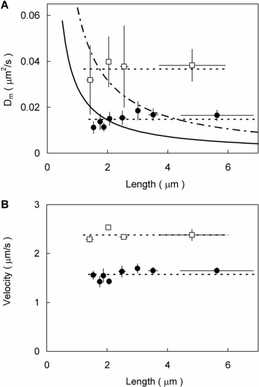 Examples of the effective diffusion coefficient (Dm) (A) and the sliding velocity (B) as a function of the actin length. Open squares, Data were collected with 17 different actin filaments (1.1∼8.0 μm) sliding over 8 different single thick filaments (16.6∼30.1 μm) isolated from an animal of M. galloprovincialis. The data points from the left show the average taken over the effective diffusion coefficients (A) or the sliding velocities (B) for N=5, 4, 4, and 4 different actin filaments. Filled circles, Data were collected with 39 different actin filaments (1.3∼9.2 μm) sliding over 8 different single thick filaments (40.5∼54.0 μm) isolated from an animal of S. virgatus. The data points from the left represent the average taken over the effective diffusion coefficients (A) or sliding velocities (B) for N=5, 5, 5, 5, 5, 5, 5 and 4 different actin filaments. The ordinate and abscissa in both panels are mean±s.e.m. Broken lines show the averages: those of Dm and velocity are 0.037 (open squares) and 0.015 (filled circles) μm2/s in A, and 2.4 (open squares) and 1.6 (filled circles) μm/s in B, respectively. Dotted-dash and solid lines in A are curves of 1/(actin length) fitted by non-linear regression either to the Dm values of M. galloprovincialis or to those of S. virgatus, respectively . These lines were fitted to individual Dm values before binning.