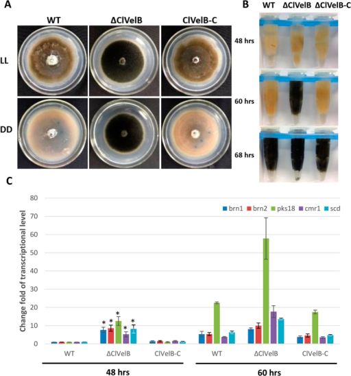 ClVelB negatively regulates the mycelial melanization of C. lunata.(A) Bottom of the CM plates of WT strain (CX-3), clvelB deletion mutant (ΔClVelB), and complemented strain (ClVelB-C) grown in constant light (LL) or dark (DD) for 7 days. Photos were taken after removing conidia. Note the heavy melanization of mycelia of ΔClVelB in both LL and DD compared to WT. (B) The mycelial pellet of WT, ΔClVelB, and ClVelB-C at different indicated time points. ΔClVelB is melanized by 60 h, which is ahead of WT and ClVelB-C. Pigmentation starts by 68 h in WT and ClVelB-C. (C) qRT-PCR analyses of pks18, cmr1, brn1, brn2, and scd. Expression was tested at 48 and 60 h. The expression level compared with the WT at 48 h is shown. Error bars are the standard deviation. A single asterisk indicates the p-value < 0.05 in a T-test analysis.