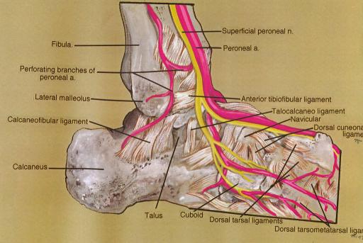 fibula; peroneal (fibular) artery; lateral malleolus; c | Open-i