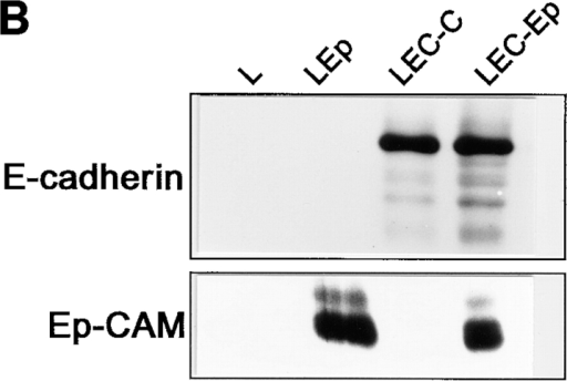 Cell segregation directed by Ep-CAM. L cells  were transfected with cDNA  for E-cadherin (LEC) or Ep-CAM (LEp), and the E-cadherin transfectants were additionally supertransfected  with either Ep-CAM cDNA  (LEC-Ep) or the blank vector (LEC-C). (A) Pairs of  transfected cells were tested in coaggregation assays: dispersed  cells of two types (Type1 + Type2), each labeled with a different  fluorescent dye, were mixed at equal concentrations. After 2 h of  culturing in suspension, cell aggregates consisting of >10 cells  were analyzed for the presence of cells of each type. The data is  presented as percentage of aggregates (y-axis) containing the respective percentage of the Type 2 cells (x-axis). (B) Expression  of E-cadherin and Ep-CAM in the transfectants, as determined  by immunoblotting in total cell lysates using antibodies to E-cadherin (36) and to human Ep-CAM (323/A3), respectively.