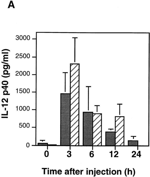 Intravenous administration of STAg causes production of IL-12  p40 that can prime an IFN-γ response. (A) Spontaneous IL-12 production by spleen cells isolated from C57BL/6 or IFN-γ KO mice injected  with STAg for the indicated times. Cells were isolated by mechanical dissociation of spleens from control mice (0 h) or mice intravenously injected with 25 μg STAg and were cultured for 24 h in medium. IL-12  p40 released into supernatants was measured by ELISA. Gray bars, B6;  hatched bars, IFN-γ KO. (B) Enhanced IFN-γ secretion by spleen cells is  dependent upon STAg-elicited IL-12 in vivo. Mice from the indicated  strains were intravenously injected with 25 μg STAg. Where indicated  (+), mice were intraperitoneally treated with 1 μg anti–IL-12 (mAb  C17.8; reference 19) immediately before injection of STAg by the intravenous route. Cells were isolated by mechanical dissociation of spleens 48 h  after injection and were restimulated with 5 μg/ml STAg for 48 h. IFN-γ  released into supernatants was measured by ELISA. Equivalent control  cultures in medium alone did not produce IFN-γ (data not shown). Data in  A and B are the average of three mice in each group except for the anti– IL-12-treated group in B, for which the data are the mean of two mice.  Error bars represent one SD from the mean.