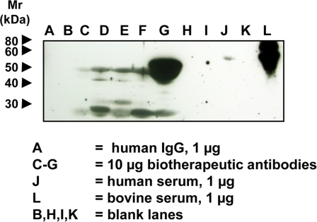 Detection of Neu5Gc on Some FDA-Approved Biotherapeutic Antibodies.Biotherapeutic agents, human IgG (Jackson Immunoresearch), human serum and bovine serum samples were run on a 12.5% SDS-PAGE gel and transferred onto a nitrocellulose membrane. The membrane was blocked overnight at 4°C with 0.5% gelatin from cold water fish skin (Sigma) in TBST. The membranes were incubated at room temperature for 2 hr with the affinity-purified chicken anti-Neu5Gc diluted 1∶100,000 in TBST with 0.5% gelatin from cold water fish skin or with a control non-specific Chicken IgY antibody pool (Jackson ImmunoResearch) at the same protein concentration. The membranes were washed with TBST and then incubated with Donkey anti-chicken HRP (Jackson ImmunoResearch) 1∶50,000 in TBST with 0.5% gelatin from cold water fish skin and 1% human serum at room temperature for 1 hr. The membranes were washed again and incubated with Pierce SuperSignal West Pico Substrate (Pierce) as per manufacturer's recommendation, exposed to X-ray film and the film developed. A, human IgG 1 µg; B, blank lane; C–G, 10 µg each of various FDA-approved biotherapeutic IgG molecules; H and I, blank lanes; J, human serum, 1 µg; K, blank lane; L, bovine serum, 1 µg.