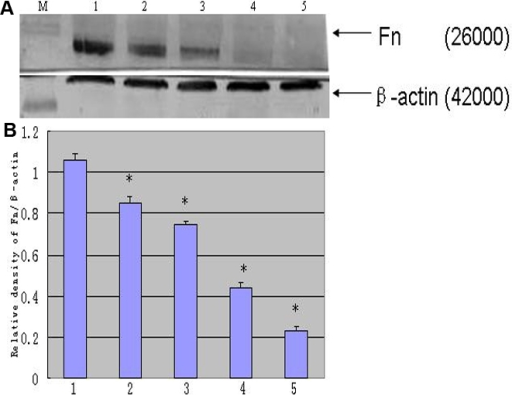 Expression of Fn in rLECs. Expression of Fn and β-actin are analyzed in panel A. The Fn expression is standardized by an internal control (anti-β-actin). Lanes M, 1, 2, 3, 4, and 5 are protein marker, normal control, 0.1 ng/ml for 24 h, 0.1 ng/ml for 48 h, 10 ng/ml for 24 h, 10 ng/ml rapamycin for 48 h groups, respectively. The summary results of Fn is shown in panel B. All differences were statistically significant (*p≤0.05).