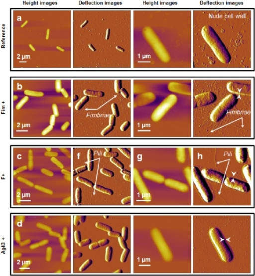 Bacterial morphology observed by AFM in air (contact mode).AFM height and deflection images (z-scale = 200 nm) recorded in air for E coli cells immobilized on a PEI-coated glass surface. a) E2152 b) E2146 c) E2302 d) E2498. The white arrows correspond to the thickness of a layer that surrounds the bacteria (see details in main text).