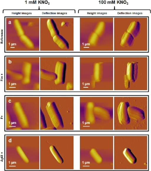 Nanomechanical properties of bacteria investigated in 1 mM KNO3.Deflection images (first column), elasticity maps (scale 0–20 MPa) (second column) and Young modulus distributions (third column) obtained in 1 mM KNO3 solution for a) E2152 b) E2146 c) E2302 d) E2498. Young modulus distributions were calculated within the spatial range marked by the white window positioned in the corresponding elasticity map (n = 256 force curves). Elastic (Young) moduli and bacterial spring constants were extracted from typical force-indentation curves shown in insets: open symbols are raw AFM data, solid lines stand for theoretical fits according to eq 5 (blue color, Hertzian non-linear regime) and straight lines represent fits on the basis of eq 4 (red color, linear or compliance regime associated to Turgor pressure contribution).