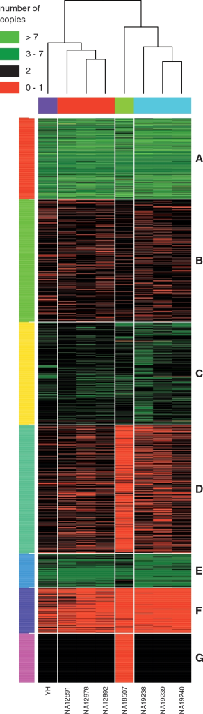 Hierarchical clustering on the estimated copy number of the 3000 CNV regions detected by JointSLM on chromosome 1 with parameters η = 10−6, ω = 0.1 and K0 = 20. Each row represents a separate CNVs region and each column a separate individual. The coloured bars on the right of the figure represent clusters of genomic events that share similar CNV patterns over multiple individuals.