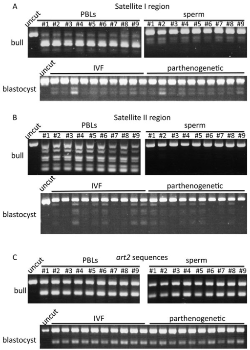 DNA methylation analysis in PBLs, sperm and blastocysts. Bulls #1-#9 shows each number of analyzed bulls. Uncut band indicates the PCR product not cut by restriction enzymes. (A) Satellite I regions were cut by AciI. (B) Satellite II regions were cut by AccII. (C) art2 sequences were cut by TaqI.