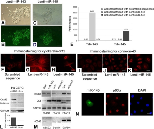 Transfection analysis of miR-143 and miR-145.(A–D) Human P2 CEPCs transfected with (A and B) Lenti-miR-143 and (C and D) Lenti-miR-145. (A, C) Phase-contrast images; (B, D) live GFP imaging. (E) Overexpression levels of miR-143 and 145 in transfected CEPCs by qPCR analysis. Amplification signals from cells with scrambled sequences (Scm) were indicated. Immunofluorescence of (F–H) cytokeratin-3/12 and (I–K) connexin-43 in CEPCs transfected with (F, I) scrambled sequence, (G, J) Lenti-miR-143 and (H, K). (L) Western blotting and densitometry analysis of connexin-43 (Cnx43) and GAPDH in CEPCs transfected with Lenti-miR-145 or scrambled sequences. (M) RT-PCR result of integrin β8 (ITGB8), cytokeratin-3 (CK3), ABCG2, β-actin and GAPDH in different primary CEPCs (at P2) transfected with Lenti-miR-145 or scrambled sequences. (N) Immunofluorescence of miR-145 (revealed by GFP), p63α and nuclear DAPI stain in P2 CEPCs after Lenti-miR-145 transfection. Scale bars: (A–D) 100 µm; (F–K, N) 10 µm.