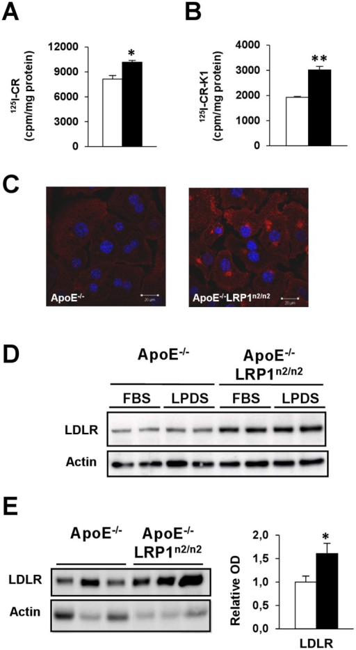 Compensatory LDLR up-regulation associated with an increased chylomicron remnant clearance.A–C, Internalization of 125I-CR (A) and 125I-CR-K1 (B) in primary hepatocytes and LDLR immunofluorescence staining in primary hepatocytes (bars are 20 µm) (C). D, Immunoblot analyses of hepatocytes for LDLR and β-actin protein levels after a 16 h incubation period with either 10% FBS or 10% Lipoprotein Deficient FBS (LPDS). E, Immunoblot analysis of microsomal liver extracts for LDLR and β-actin protein levels (n  = 6 per genotype). ApoE−/− (□) and apoE−/−LRP1n2/n2 (▪) mice, data are mean±SEM. *P<0.05, **P<0.005.