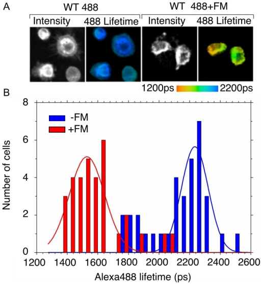 FLIM lifetimes of the Alexa488 donor fluorescence in the presence and absence of the acceptor FM.A) Representative Alexa488 fluorescence intensity and lifetime images. The panel shows examples of data collected in the absence (left, WT 488) and presence of the acceptor FM (right, WT 488+FM). The pseudocolor scale is shown at the bottom. B, histogram of measured Alexa488 lifetimes generated by integrating lifetime measurements for individual cells. The histogram bars show the number of cells in 50 ps bins for Alexa488 in the absence (blue) and presence (red) of the acceptor FM. The average and standard deviation were generated by fitting the histogram to a single Gaussian function (shown as a solid line).