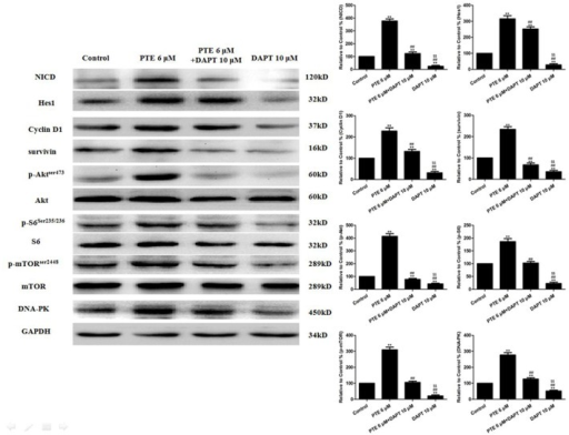 The effects of PTE combined with DAPT on the Notch1 signaling and pro-survival factors in lung adenocarcinoma cells treated for 24 h.Representative Western blot results are shown. The results are expressed as the mean ± SEM, n = 6. **P<0.01 compared with the control group, ##P<0.01 compared with the PTE 6 µM group, $$P<0.01 compared with the PTE 6 µM+DAPT 10 µM group. PTE, pterostilbene.