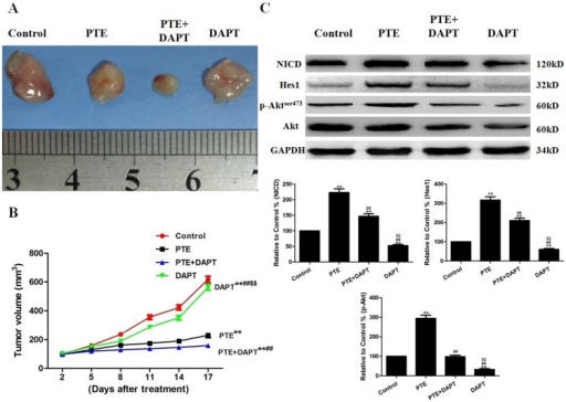 The effects of PTE combined with DAPT on tumor xenografts in vivo.(A) Photographs showing the morphology of the tumor xenografts in different groups. (B) The tumor growth curve was drawn using the tumor volume and the treatment duration. (C) Representative Western blot results are shown. The results are expressed as the mean ± SEM, n = 3. **P<0.01 compared with the control group, ##P<0.01 compared with the PTE group, $$P<0.01 compared with the PTE+DAPT group. PTE, pterostilbene.