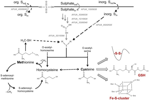 Schematic overview on the impact of MetR regulation on sulphur metabolism.The MetR regulon (gray genes and arrows) comprises genes whose products participate in sulphur assimilation, especially inorganic sulphur, rather than metabolic processes (black arrows). Full-line arrows denote known genes/pathways while dashed arrows denote putative pathways. The supposed point of connection with iron sensing/regulation is highlighted.