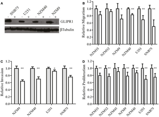 GLIPR1 siRNA knockdown decreases cellular invasion and proliferation. (A) GLIPR1 protein levels following knockdown were determined by western blotting (40 μg of total protein per lane) from cells 72 h following transfection with siRNA. GLIPR1 knockdown with siGLI (+) and control treatment with non-targeting siRNA siNT (−) are indicated above gel. Low levels of endogenous GLIPR1 prevented assessment of the extent of knockdown in NZM15, NZM12, and NZM45 by western blotting. Relative migration (B) and invasion (C) of cells across the membrane of transwell inserts was measured 24 h after siGLI. Data shown as the average number of cells per field of view ± SEM from three (B) or two (C) independent experiments. Error bars indicate SEM; *p < 0.005, **p < 0.001. No migration was observed for NZM45 (Figure 2A) and no invasion was seen for NZM45, NZM12, or NZM15 (Figure 2B). (D) Cell proliferation was quantified using MTT-based colorimetric assay. Results are mean of two independent experiments, n = 4. Results in (D) are shown as data for cells 4 days after transfection with siGLI relative to data for cells transfected with siNT. Results for (B,C) are shown for cells 24 h following transfection.