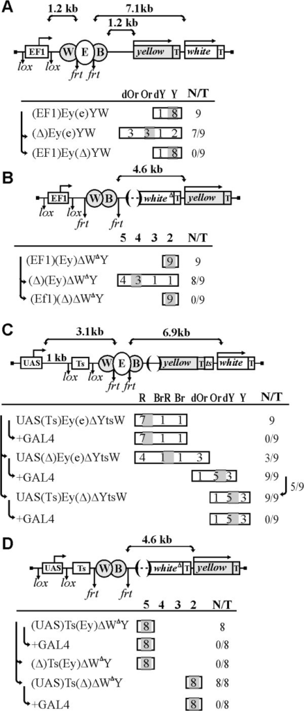 Transcription initiated on the Ef1 promoter suppresses the enhancer activity, while the SV40 transcriptional terminator protects the enhancers from the repressive effect of transcription. (A) (EF1)Ey(e)YW, the Ef1 promoter drives transcription through eye enhancer. (B) (EF1)(Ey)∆W∆Y, the Ef1 promoter drives transcription through yellow enhancers. (C) UAS(Ts)Ey(e)∆YtsW, the 702-bp SV40 terminator (Ts) is inserted between the UAS promoter and the eye enhancer. (D) (UAS)Ts(Ey)∆W∆Y, the 702-bp SV40 terminator is inserted between the UAS promoter and yellow enhancers. For other designations, see Figures 1 and2.