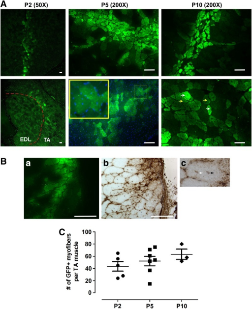 Engraftment of in vitro expanded mMPC engraft into injured muscle tissue. (A) Nude mice transplanted with 1×105 GFP+ mMPCs at passage 2, 5, and 10 (P2, P5, and P10, respectively), as described in Methods. Tibialis anterior (TA) muscles were harvested 4 weeks after transplantation and processed for fluorescence imaging (epifluorescence). Cross-section of the TA muscles showed large clusters of GFP+ myofibers with centrally localized nuclei (yellow box). Dashed red line (left lower panel) indicates the border between the epifluorescent signal of GFP+ myofibers and the autofluorescence of the adjacent host extensor digitorumlongus (EDL) muscles. White and yellow arrows indicated heterogeneous epifluorescence of GFP+ myofibers. Scale bar=100 μm. (B) Detection of GFP in engrafted muscle. GFP was detected in serial sections of the muscle tissue by epifluorescence (green, a) and staining with anti-GFP antibodies (brown staining, b), showing similar patterns of GFP signal. c. A chimeric myofiber contains host (blue nucleus, black arrow) and donor (brown nucleus, white arrow) nuclei, as determined by staining with anti-GFP antibodies. (C) Quantification of GFP+ myofibers. The number of GFP+ myofibers was determined in 100–200 serial sections of each TA muscle. GFP, green fluorescent protein.