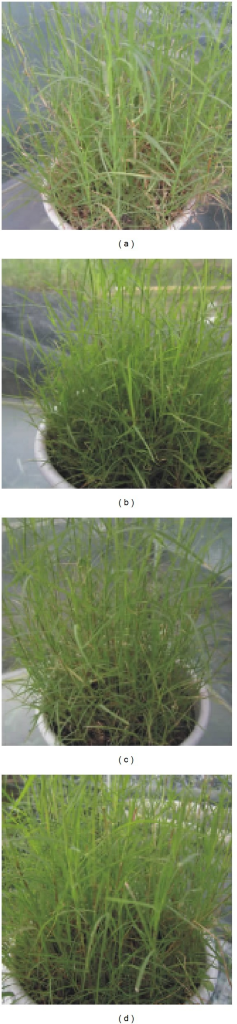 Symptoms of C. dactylon accessions in response to SO2. (a) SO2-sensitive representative C. dactylon accession CQ1116, (b) intermediate SO2-tolerant representative C. dactylon accession SC1217, (c) high SO2-tolerant representative C. dactylon accession SC1203, and (d) C. dactylon accession CQ1116 without SO2 treatment as a control.