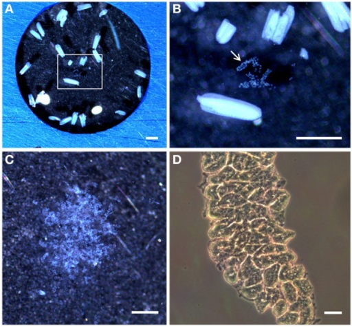 Stereomicroscopy and light microscopy images of rice anthers and isolated meiocytes. (A) Stereomicroscopy observations of rice anthers suspended in a solution PBS and 1% proteinases inhibitors on a multi-well slide. (B) Inset in (A) shows the meiocytes bag (arrowed) from a sectioned rice anther. (C) Rice isolated meiocytes under the stereomicroscope. (D) Light microscopy observations of rice isolated meiocytes in a Neubauer chamber. Bar represents 500 μm in (A,B), and 20 μm in (C,D).