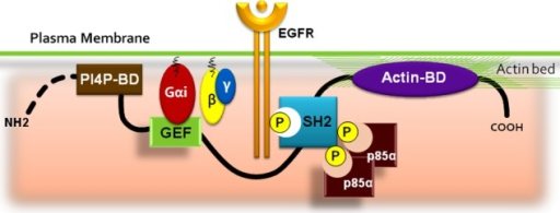 Multimodular cooperation allows GIV, a class 1 SH2-like adaptor, to link GEF activity for trimeric Gαi to cytoplasmic tails of ligand-activated RTKs. Schematic illustration of the modular structure of GIV from amino- to carboxyl-terminus: phosphoinositide-binding domain (PI4P-BD, brown), which binds membrane lipid and helps localize GIV to the PI4P-enriched plasma (PM), where ligand-activated receptors and G proteins are located; a GEF motif (green), which binds and activates Gαi; a SH2 domain (blue), which recognizes and docks onto the autophosphorylation sites on cytoplasmic tails of ligand-activated EGFR and other RTKs; a pair of phosphotyrosines (P), which directly bind p85α (PI3K) and activate class 1A PI3Ks; and an actin-binding domain (actin-BD, purple), which binds and remodels actin at the leading edge of migrating cells. These binding events cooperatively maintain GIV at the PM such that Gαi and PI3K are activated, and actin is remodeled in close proximity to RTKs. Recruitment of GIV-SH2 to RTKs and activation of Gαi in the vicinity of activated receptors enable GIV to modulate signaling programs downstream of the receptor. The plasticity of GIV's SH2-like domain between a stably folded and partially folded state is likely to regulate GIV's ability to engage with activated RTKs.