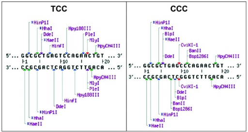 Restriction endonuclease recognition sites. The DNA sequences, enzyme loci and restriction fragment size. The left panel shows the normal sequence of the third exon of myocilin (MYOC). The right panel shows the sequence with a T/C transition in codon 341 which changed serine (TCC) to proline (CCC), and the mutation caused the loss of restriction sites of CviKI-1 enzyme in the corresponding DNA sequence.