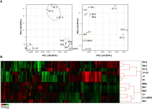 Global Gene-Expression Profiling of EpiSCs, mESCs, and Epiblasts(A) PCA of global gene-expression profiles obtained from the indicated cell types. J1 and R1 are mESCs. J1+2i represents J1 cells cultured in 2i-containing medium. E5.5, E6.5, and E7.5 are epiblast cells isolated from embryos at the corresponding stages. Ba1, Ba2, BNa, Wt1, C1, and C1+IWP2 represent EpiSC lines 129Ba1, 129Ba2, 129BNa, Wt1, 129C1, and 129C1 cultured in the IWP-2-containing medium, respectively. Dotted circles indicate the mESC group (green), EpiSC group (pink), and epiblast group (blue).(B) Hierarchical cluster analysis of expression profiles from EpiSCs, mESCs, and epiblast cells.See also Figure S4 and Table S2.