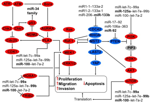 Regulation of MAPK, PI3K-AKT, and G2-M checkpoint by members of the family miR-125 and members of miR-let-7c~99a, miR-125a~let-7e~99b, miR-100~let-7a-2, and miR-206~133b clusters in cervical cancer. MAPK cell signaling is triggered by MEK-1 activation via TRIB2 and HOXA1 conducing to ERK1/2 phosphorylation, thereby provoking apoptosis reduction and inducing proliferation, migration, and invasion. This pathway is regulated by downregulation of TRIB2 and HOXA1 by the family miR-99 clustered in miR-let-7c~99a, miR-125a~let-7e~99b, and miR-100~let-7a-2. The members of these clusters are diminished in cervical cancer. MST2 inhibits Raf-1 and activates LAST2/YAP, reducing Ras-MEK-ERK activation, thus diminishing proliferation and inducing apoptosis, respectively. The oncomiR-133b from the cluster miR-133b~206 inhibits the tumor suppressor MST2. As well as CDC42 and RhoA that in turn inactivates Plexin B1 and PTEN increasing PI3K-PDK1-AKT-mTOR signaling, thus augmenting translation. MiR-125a from the cluster miR-125a~let-7e~99b counteracts the effect of miR-133b through the downregulation of PIK3CD, inhibiting PI3K-PDK1-AKT-mTOR signaling. The family miR-99 reduces mTOR protein expression, having an opposite effect to the miR-206~133b cluster. The cell cycle is arrested by DNA damage via ATM and ATR activation consecutively by the activation of Chk1/2 blocking CDC25 hampering CDK1 stopping transition from G2 to M. ATM and ATR prevent Bora activation conducing to Aurora A, PlK1 and MDM2 inactivation, thereby stabilizing p53 and activating miR-34 family transcription. Also, p53 is activated directly by Chk1/2, ATR, and ATM. In cervical cancer PlK1 is upregulated because miR-100 from the cluster miR-100~let-7a-2 is downregulated, promoting MDM2 increase and contributing to p53 decrease, with a concomitant miR-34 family shrink increasing protein translation, proliferation, and apoptosis reduction. In bold are the miRNAs with effect on genes with validated experimental data.