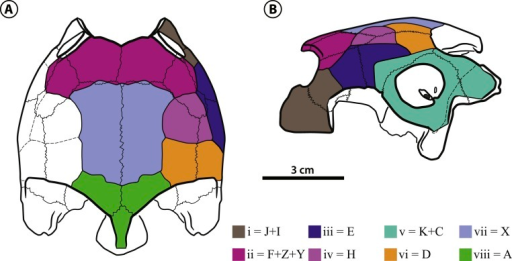 "Bairdemys thalassica sp. nov.Dermal scales of the skull in (A) dorsal and (B) lateral view. On the identification of each scale (in lower case latin numbers, from i to viii) there is after the ""="" mark the preliminary homology assessment in relation to the Sterli & de la Fuente (2013) system (see Dermal scales of the skull section)."