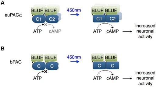 Blue light using flavin adenine dinucleotide (BLUF) domain-regulated adenylate cyclases.(A) The euPACα polypeptide is composed of two BLUF and two catalytic domains in the order BLUF1, C1, BLUF2, C2, and likely dimerizes or tetramerizes when expressed heterologously. The C1 and C2 catalytic domains associate to form the adenylate cyclase active site. BLUF domains N-terminal to each catalytic domain enhance catalysis in response to light. (B) The bPAC is composed of a single BLUF and a single catalytic domain, and likely dimerizes when expressed, so that an adenylate cyclase active site forms at the interface of the catalytic domains. The BLUF domain enhances catalysis in response to light.