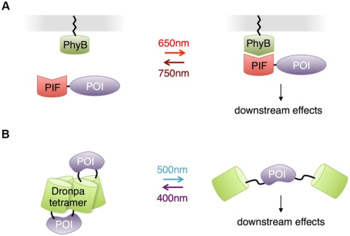 Other photosensory modules with potential benefits for neurobiological applications.(A) Phytochrome – PIF based protein membrane translocation. Phytochrome (PhyB) is localized at plasma membrane by fusing to a membrane-trafficking peptide, and a POI is in fusion with the PIF domain. Red light-mediated PhyB-PIF interaction drives the POI to the plasma membrane, initiating downstream reactions. (B) Dronpa system for optogenetic control of protein function through steric blockade. Dronpa(K145N) forms tetramers. A POI is flanked by Dronpa on either terminus. When Dronpa is in multimeric form, the protein is caged and unable to perform its normal functions. Exposure to cyan light causes Dronpa to monomerize, uncaging the protein. A subsequent exposure to violet light will cause Dronpa to multimerize, again caging the protein.