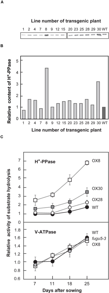 Expression level and enzyme activities of H+-PPase and V-ATPase in WT and mutant lines. H+-PPase overexpressors were grown on MS plates for 15 days (A,B) or WT, fugu5-3 and three representative H+-PPase overexpressors (OX8, OX28, and OX30) were grown on MS plates with 1% sucrose for 11 days, transplanted to rockwool pots, and then grown for another 14 days (C). (A) Crude membrane fractions were prepared and aliquots (0.5 μg) were subjected to immunoblot analysis with specific antibodies against H+-PPase. Representative blots from two independent experiments are shown. (B) The intensities of immunostained bands shown in (A) are expressed as relative values to those of WT. (C) Crude membrane fractions were prepared from plants (0.4–1.0 g of fresh weight) at indicated growth stages and subjected to assays of PPi hydrolysis activity by H+-PPase and ATP hydrolysis activity by V-ATPase. Bars indicate SD from three independent experiments. The activities are shown as relative values on the basis of membrane protein to that of WT at 7 DAS. DAS, days after sowing.