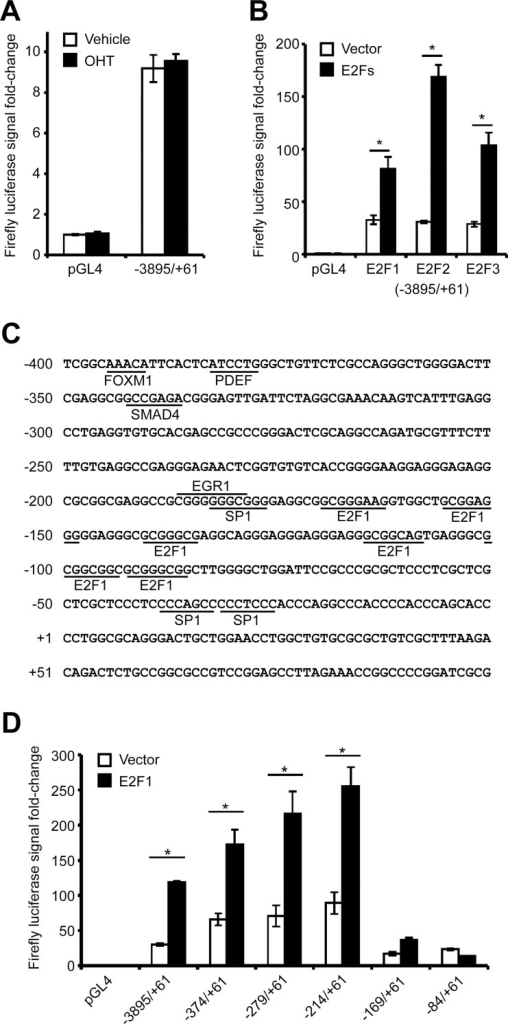 Critical regulatory regions in the PITX1 promoter govern its expression in chondrocytes.Human C28/I2 chondrocyte cells were cotransfected with either the empty pGL4 plasmid (luciferase reporter plasmid) or the pGL4 plasmids containing different regions of the PITX1 promoter combined with either the empty pBabe plasmid or pBabe plasmids expressing ER (estrogen receptor) fused to E2F1, E2F2, or E2F3 and induced with 4OH-tamoxifen (OHT) for 24 h. (A) The -3895/+61 PITX1 gene region contains regulatory elements capable of producing a luciferase signal that is not affected by OHT treatment. (B) Overexpression of E2F1, E2F2, and E2F3 produces a significant increase in the luciferase activity under the control of the -3895/+61 PITX1 gene region. (C) The proximal sequence of the PITX1 promoter contains several E2F1 binding sites, as predicted by MatInspector 8.0 software (Genomatix Software Suite). (D) Overexpression of E2F1 has variable effects on luciferase activity depending on the length of the transfected promoter region (-3895/+61; -374/+61; -279/+61; -214/+61; -169/+61; -84/+61). Except for the -84/+61 PITX1 gene region, all the other constructs are significantly activated by E2F1. (Fig 1A, 1B and 1D) Data represents mean and standard deviation of 3 independent experiments. Asterisks represent a significant increase in luciferase activity (Two-way ANOVA; Bonferroni post hoc: *p < 0.0001) compared with control cells.