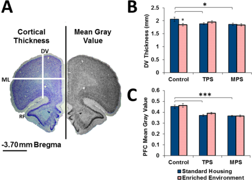 Ancestral stress reduced prefrontal cortex thickness.(A) Image of a representative cresyl violet-stained coronal brain section corresponding to 3.70 mm relative to bregma illustrating the measurements of cortical thickness (DV: Dorsoventral, ML: Mediolateral, RF: Rhinal fissure, scale bar represents 2 mm). The right portion shows the gray scale 8-bit image used for mean gray value analysis. (B) DV thickness and (C) mean gray value were significantly decreased due to transgenerational and multigenerational stress, with no significant effect of enrichment therapy. PFC, prefrontal cortex. Asterisks denote significances (*p < 0.05, ***p < 0.001).