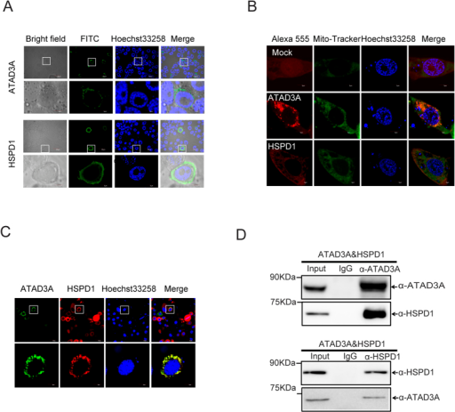 ATAD3A interacts with HSPD1.(A) Subcellular localization of ATAD3A and HSPD in BmN-SWU1 cells. ATAD3A and HSPD1 were stained with FITC-labeled and Hoechst33258 at 48 h post-transfection in BmN-SWU1 cells. Green fluorescence represents fluorescent represent ATAD3A and HSPD1, blue fluorescence represents the nucleus. Scale bar: 5 μm. (B) Mitochondria co-location of ATAD3A and HSPD1 in BmN-SWU1 cells. ATAD3A and HSPD1 were stained with Alexa 555-labeled, mitochondria-tracker and Hoechst33258 at 48 h post-transfection in the BmN-SWU1 cells. Red fluorescence represents ATAD3A and HSPD1, Green fluorescence represents Mito-Tracker, and blue fluorescence represents the nucleus. Scale bar: 5 μm. (C) Co-localization of ATAD3A and HSPD1 in BmN-SWU1 cells. ATAD3A and HSPD1 stained with Alexa 555-labeled anti-HSPD1, FITC-labeled anti-ATAD3A and Hoechst33258 at 48 h post-transfection in the BmN-SWU1 cells. Red fluorescence represents HSPD1, Green fluorescence represents ATAD3A, and blue fluorescence represents the nucleus. Scale bar: 5 μm. (D) Co-immunoprecipitation of ATAD3A and HSPD1 examined by Western blotting. The label on the top of each panel shows the antibodies used for immunoprecipitation. The labels on the right of each panel shows the antibodies used for analysis of Western blotting. The apparent molecular size of each band is shown on the left of each panel.