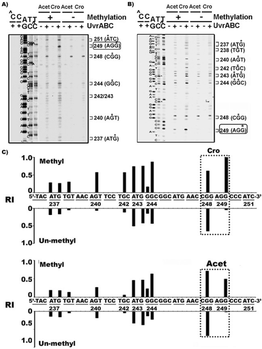 Cytosine methylation at codon 248 (-CGG-) of p53 gene sensitizes codon 249 (-AGG-) for Acet and Cro modificationsSingle 5'-end A. or 3'-end B. 32P labeled exon 7 p53 DNA fragments were methylated with CpG methylase, as previously described [13, 61] then modified with Acet (100 μM, 1 h at 25 °C) and Cro (100 μM, 1 h at 37°C). PdG distributions in the fragments were mapped by the UvrABC incision method [26]. ∧C and C represent the methylated and unmethylated DNA fragments, respectively. * indicates the UvrABC incised base. C. The effect of methylation on Acet and Cro induced PdG formation. The relative levels of PdG formation at different sequences of 3'-end 32P-labled exon 7 of p53 gene fragments with (Methyl) and without (Un-methyl) CpG methylation as shown in (B) were quantified as described [13, 36]. RI represents relative intensity. Note: CpG methylation greatly enhances Acet- and Cro-induced PdG formation at codon 249.