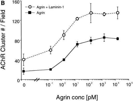 (A) Laminin-1 induces AChR aggregation in a dose-dependent manner. C2 myotubes were treated with concentrations of laminin-1 ranging from 1.2 to 400 nM. Laminin-1 begins  to induce AChR clustering at 12 nM and peaks at 120 nM. (B)  Laminin-1 and neural agrin act additively to induce AChR clustering. C2 myotubes were treated with varying concentrations of  neural agrin ranging from 0.15 pM to 15 nM, without (closed  squares) or with (open circles) 40 nM of laminin-1. Treatment  with both laminin-1 and agrin results in an increased number of  AChR clusters over that induced by neural agrin alone. For each  treatment, the number of AChR clusters was drawn from three  experiments by counting and averaging clusters within 10 fields/ experiment and is shown as means ± SEM (n = 3).