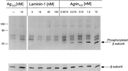 Laminin-1 does not induce tyrosine phosphorylation of  the AChR β subunit. C2 myotubes were treated with neural agrin  (1.5 pM to 15 nM) or with laminin-1 (4 to 120 nM) for 45 min at  37°C. AChRs were isolated on α-bungarotoxin Sepharose beads,  and nitrocellulose blots containing AChRs were probed with  anti-phosphotyrosine antibodies. Laminin-1 did not induce β subunit phosphorylation at any concentration. The same concentrations of neural agrin that induced both AChR clustering and  MuSK phosphorylation also induced β subunit phosphorylation.  Untreated and muscle agrin-treated cultures did not exhibit β  subunit phosphorylation. The nitrocellulose blot was stripped  and reprobed with an antibody against the β subunit (mAb 124)  to ensure that similar amounts of β subunit were present in each  sample.