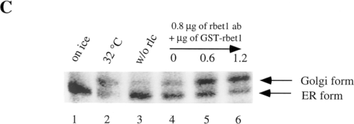 rbet1 antibodies specifically inhibit in vitro ER-Golgi  transport. (A) In vitro ER-Golgi transport was performed either  on ice (lane 1) or at 32°C (lanes 2–7) supplemented with the indicated amounts of rbet1 antibodies. (B) In vitro ER-Golgi transport was performed either on ice (lane 1) or at 32°C (lanes 2–4)  supplemented with 1.2 μg of rbet1 antibodies (lane 3) or the heat-inactivated antibodies (lane 4). (C) In vitro ER-Golgi transport  was performed either on ice (lane 1) or at 32°C (lanes 2–6) in the  absence (lane 3) or in the presence of rat liver cytosol (rlc) (lanes  1 and 2, and 4–6) supplemented with 0.8 μg of rbet1 antibodies  and indicated amounts of GST-rbet1.