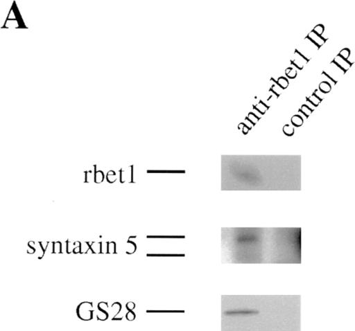rbet1 exists in a protein complex that contains GS28  and syntaxin 5. (A) Golgi extract was immunoprecipitated with  rbet1 antibodies or control antibodies. The immunoprecipitates  were analyzed by immunoblot to detect rbet1, GS28, and syntaxin 5. (B) The immunoprecipitate of rbet1 and control antibodies, together with 100 μg of Golgi extract, were analyzed by immunoblot to detect rbet1 and syntaxin 6.