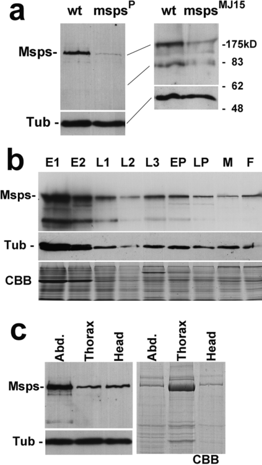 Expression of Msps protein. (a) Specific immunoidentification of Msps protein. (Left) Total protein samples were prepared from late third instar larvae of wild-type and mspsP, immunoblotted and probed with the Msps antibody. (Right) Protein samples were prepared from adult males of wild-type and mspsMJ15. The levels of 220-kD protein and putative degradation fragments were greatly reduced in the msps mutants. The amounts and profiles of total proteins were identical between wild-type and msps mutants judged by Coomassie blue staining. An α-tubulin antibody was used to give a loading and blotting control. (b) Levels of Msps protein during development. Protein samples were prepared from successive developmental stages of wild-type. E1, 0–4-h embryos; E2, 4–20-h embryos; L1, 1st instar larvae; L2, 2nd instar larvae; L3, 3rd instar larvae; EP, early pupae; LP, late pupae/pharate adult; M, adult males; F, adult females. In the upper panel, the immunoblot is probed with the Msps antibody. Msps protein is most abundant in embryos but a significant amount is also found in other developmental stages. In the middle panel, the immunoblot is probed with α-tubulin antibody. In the bottom panel, Coomassie blue staining shows that each lane has a comparable amount of protein except L2 which is underloaded. (c) Msps protein in adults. Adult females were dissected into three parts, abdomen, thorax, and head. One-tenth of each part from individual flies was loaded in each lane. In the top left panel, the immunoblot was probed with Msps antibody. In the lower left panel, the immunoblot was probed with an α-tubulin antibody. The right panel shows Coomassie blue staining.