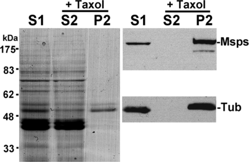 Msps protein binds to microtubules in vitro. Crude protein extract from 0–8-h-old embryos was incubated on ice to depolymerize microtubules. The high speed supernatant (S1) was incubated with taxol (paclitaxel) and GTP at 20°C to repolymerize the microtubules. Microtubules and associated proteins (P2) were separated from soluble proteins (S2) by centrifugation. (Left) Coomassie blue staining. (Top right) Immunoblot probed by Msps antibody. (Bottom right) Immunoblot probed by α-tubulin antibody. After taxol treatment, Msps protein of unaltered size is exclusively detected on the microtubule fraction.
