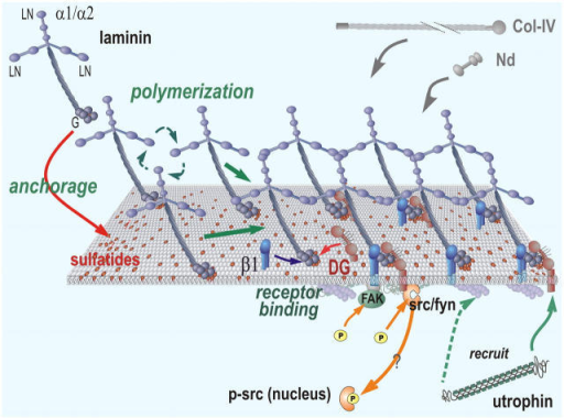 Working model distinguishing Lm anchorage from signaling. Lm (blue) binds to sulfatides (red lipids in membrane) through its LG domains and polymerizes to create a nascent BM scaffolding that captures and binds to nidogen and type IV collagen. These self-assembly steps are distinguished from those of the binding of the BM to DG (orange) and β1-integrins (β1, blue), the former being directly or indirectly bound to c-Src/Fyn. Src/Fyn becomes activated through tyrosine phosphorylation and may translocate to the nucleus. Lm assembly recruits cytoskeletal utrophin to β-DG, which, in turn, can bind to the actin cytoskeleton. β1-integrin mediates FAK tyrosine phosphorylation.