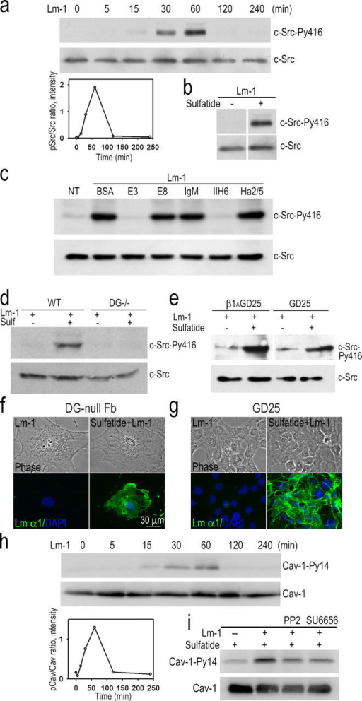 Tyrosine phosphorylation of c-Src and caveolin-1 in sulfatide-loaded fibroblasts. (a) MEFs were loaded with gal-sulfatide and treated with 10 μg/ml Lm-1. Equal protein loads of cell lysates were analyzed in immunoblots. Transient Src activation (PY416) was detected within 30 min after Lm-1 treatment. (bottom left) Ratio of Src-PY416/total Src. (b) Lm-1 does not induce Src phosphorylation in fibroblasts in the absence of sulfatide loading. Fibroblasts with or without sulfatide loading were incubated with 10 μg/ml Lm-1 for 1 h. Cell lysates were immunoblotted with either c-Src-Py416 or c-Src–specific antibodies. (c) αDG antibody and Lm-1 fragment E3 inhibit Src phosphorylation in sulfatide-loaded fibroblasts treated with Lm-1. Gal-sulfatide–loaded fibroblasts were treated with 10 μg/ml Lm-1 for 1 h in the presence of either 100 μg/ml BSA,100 μg/ml E3, 250 μg/ml E8, 10 μg/ml mouse IgM, 10 μg/ml IIH6, or 10 μg/ml of β1-integrin antibody Ha2/5; lysed; and immunoblotted for pSrc and c-Src. (d) DG expression is required for Lm induction of Src activation in sulfatide-loaded fibroblasts. Fibroblasts derived from wild-type or DG- embryonic stem cells treated with gal-sulfatide were incubated with 10 μg/ml Lm-1 for 1 h and analyzed for pSrc and total Src. (e) Ablation of the β1-integrin gene does not prevent Lm-1–induced Src phosphorylation in sulfatide-loaded fibroblasts. β1-integrin–deficient fibroblasts (GD25) and β1-integrin–transduced GD25 control cells were treated the same as described in d, with lysates analyzed for pSrc and total Src. (f and g) Lm-1 assembly on sulfatide-loaded fibroblast surfaces does not require DG or β1-integrin. DG- (f) and β1-integrin– (g) fibroblasts, loaded with gal-sulfatide and incubated with 10 μg/ml Lm-1 for 1 h, were fixed and immunostained for Lm α1. (h) Caveolin-1 phosphorylation is induced by Lm-1 in sulfatide-treated embryonic lung fibroblasts. Fibroblasts were treated the same as described in panel a, and analyzed for Py14-caveolin-1 (Cav-1). The densitometry plot (caveolin-1-Py14/total caveolin-1) is also shown. (i) Src inhibition decreases Lm-induced caveolin-1 phosphorylation. Sulfatide-loaded fibroblasts were treated with Lm-1 plus Src kinase inhibitor PP2 (2 μM) or SU6656 (2 μM) for 1 h. Cell lysates were analyzed in immunoblots for caveolin-1-Py14 (Cav-1-Py14) or total caveolin-1 (Cav-1).