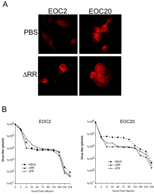 EOC2 and EOC20 Microglia cultures are non-permissive for HSV replication. (A). EOC2 and EOC20 cells differ in morphology and the intensity of staining with CD11b antibody before, but not after virus infection. (B). EOC2 and EOC20 cells were infected with ΔRR or ΔPK or HSV-2 (1 × 106 pfu) and examined for virus growth by plaque assay as described in Materials and Methods.